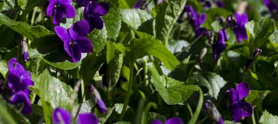 Violette candite.   Candy violets.   Kandierte Veilchen.